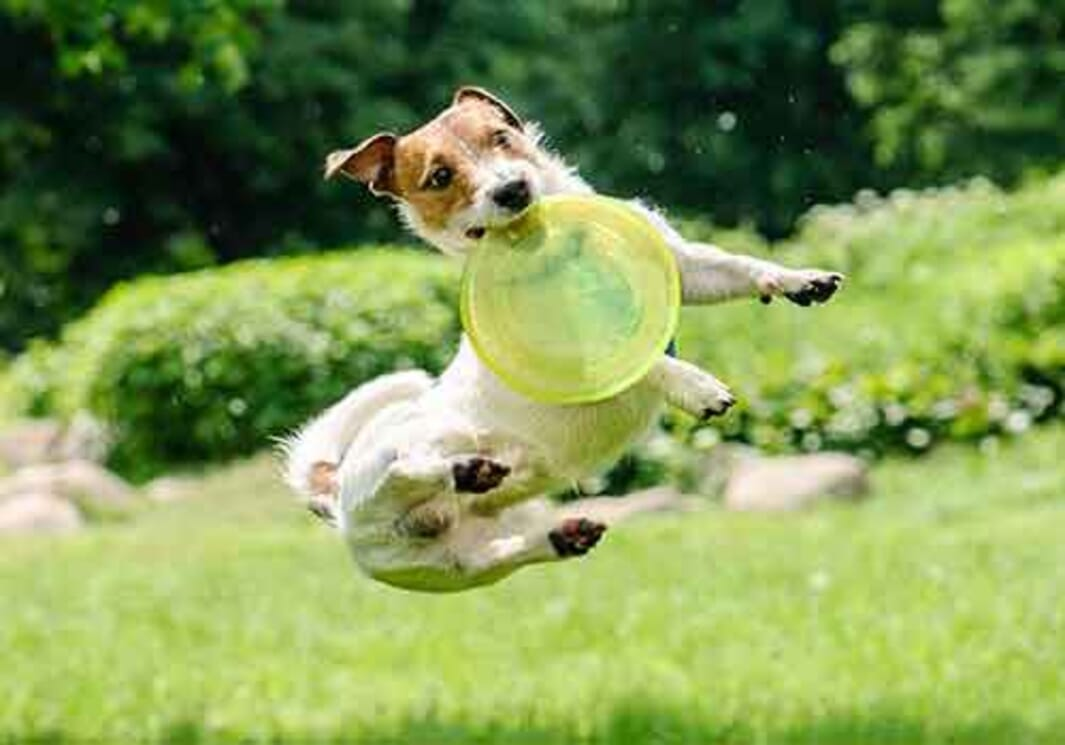Hyperactive Jack Russell