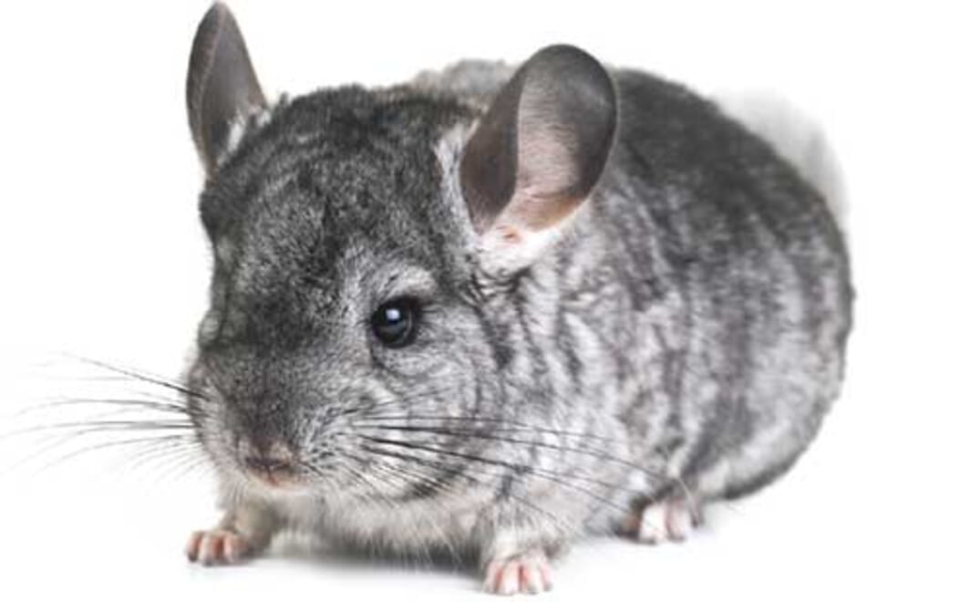 At home with a chinchilla