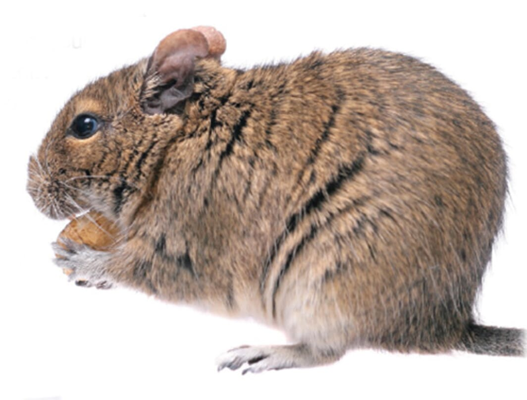 Looking after your Degu