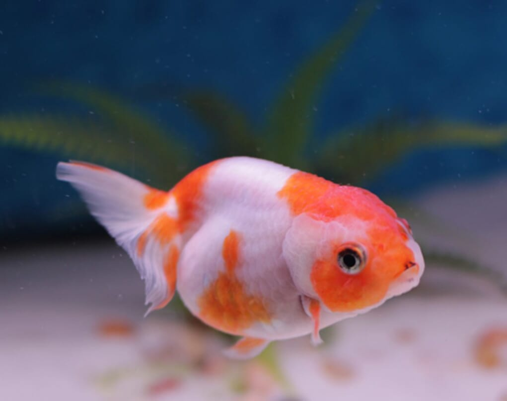 Goldfish and cold water fish