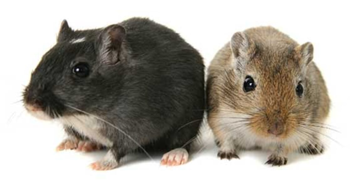 Looking after your gerbil