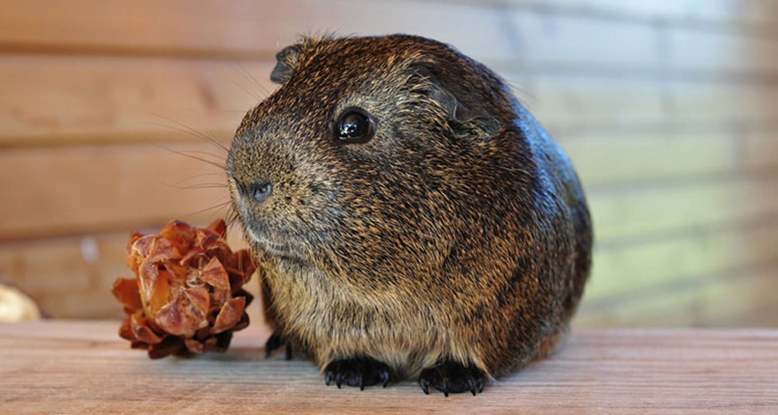 At home with your guinea pig