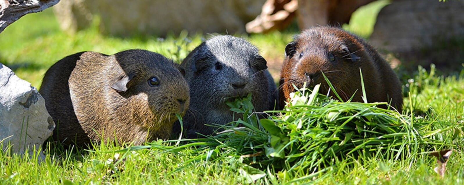 Selecting your guinea pig breed
