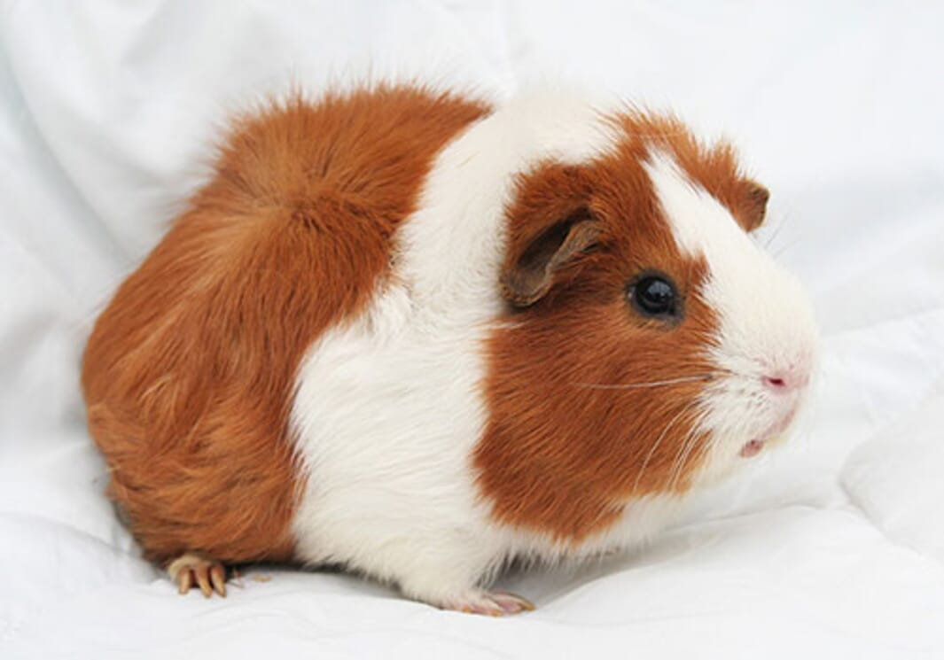 When buying your guinea pig