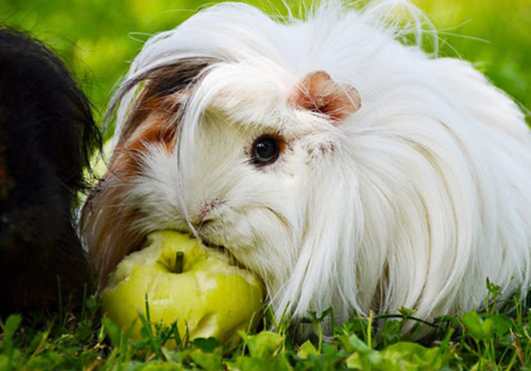 Which breed of guinea pig