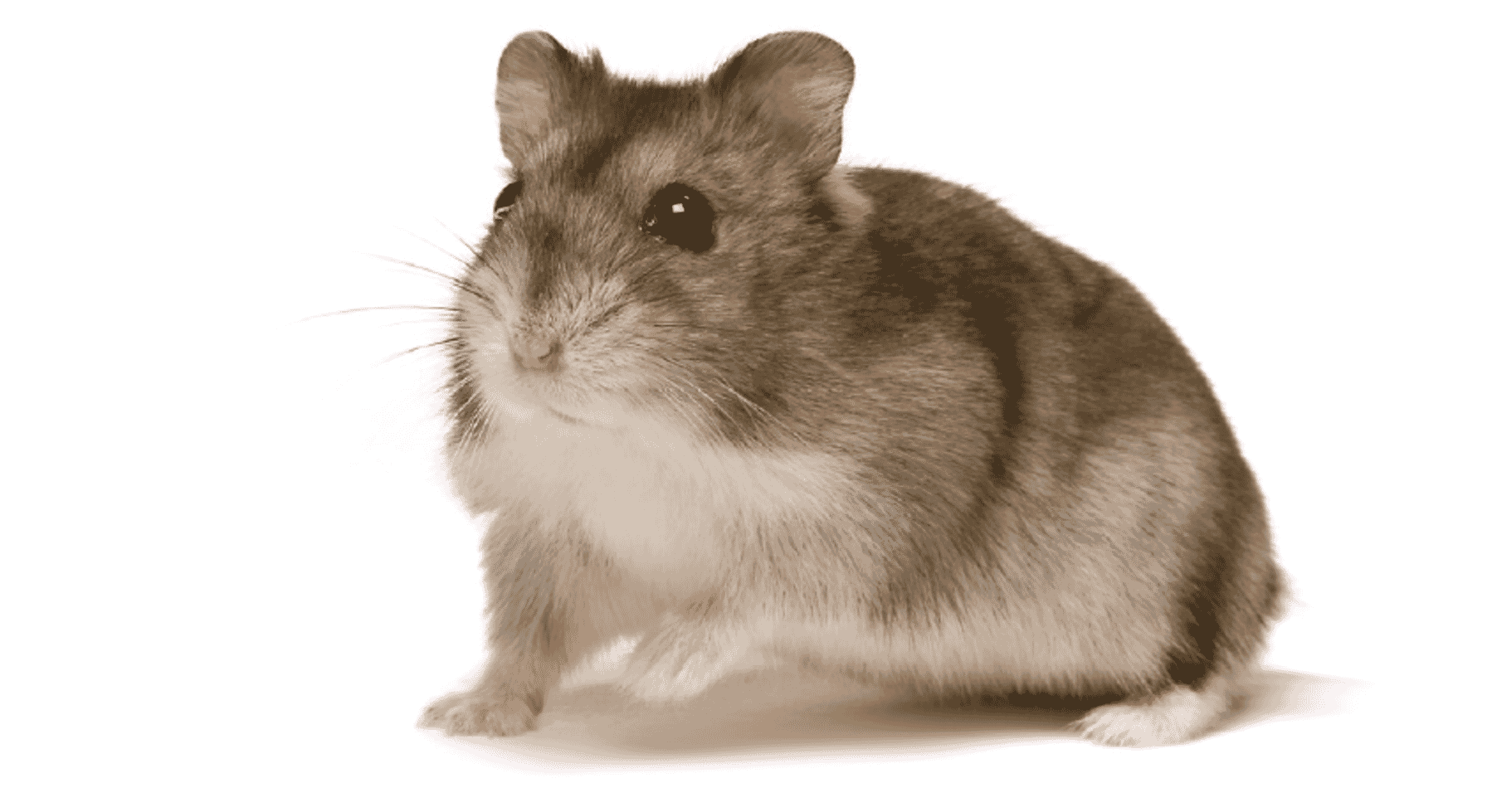 At home with your Hamster